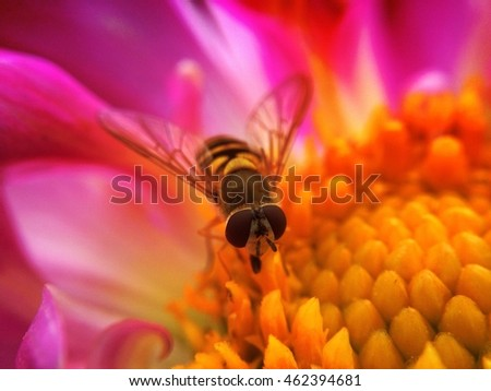 Hover fly on a dahlia flower with overlay