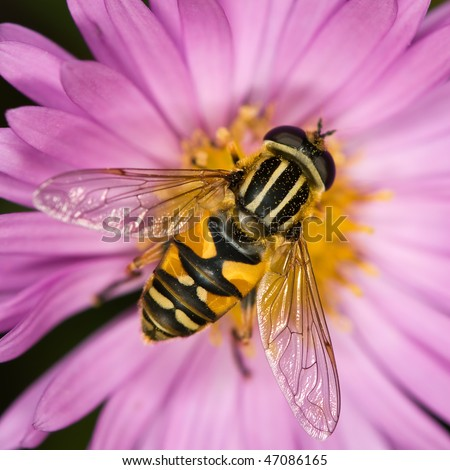 Hover fly on a lilac flower - stock photo