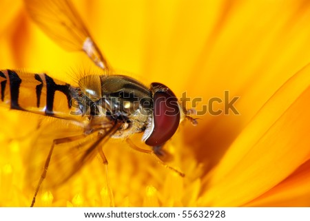 Hover fly on the yellow flower