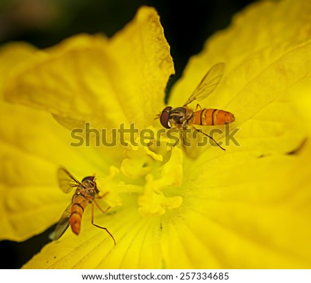 Hoverflies or flower flies collect pollen or nectar from yellow flower - stock photo