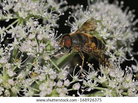 Hoverfly - Eristalis pertinax With Grass fly, Chlorops hypostigma