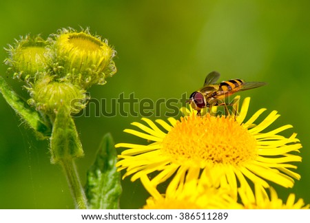 Hoverfly on a summers day. Selective focus on the insect. - stock photo