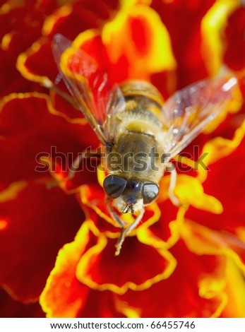 Hoverfly on red flower