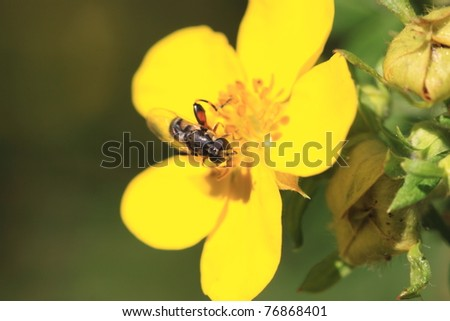 hoverfly Syrphe syrphidae - stock photo