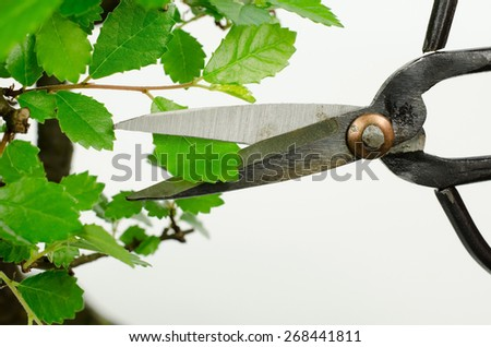 how to create smaller leafs (bonsai, chinese elm) - stock photo