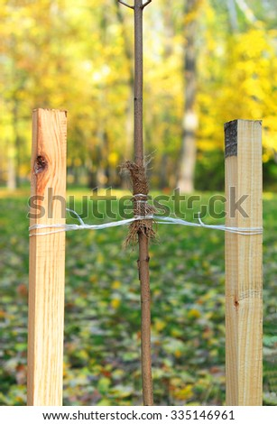 How to Plant a Tree Correctly with Two Stakes. Planting Trees in Autumn. If your tree is still a sapling, use a stake to help it grow for about the first year of its life. - stock photo