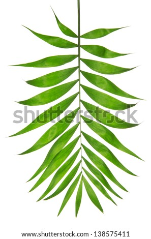 Howea palm tree leaf isolated on white - stock photo