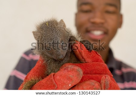 "HOWICK, SOUTH AFRICA - FEBRUARY 26: A juvenile grey mongoose rescued from the African ""muti"" trade is held by Israel Silevu at the FreeMe wildlife centre near Howick, South Africa, February 26, 2013."