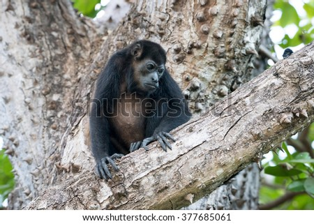 Howler monkey in a tree looking down at other monkeys below - stock photo
