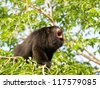 Howler monkey on the tree - stock photo