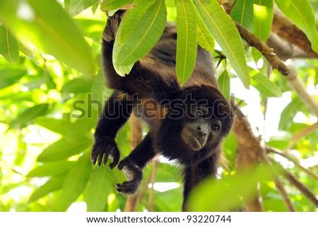 Howler Monkey, Pacific  Coast, Costa Rica - stock photo