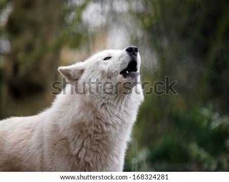 howling Hudson Bay wolf - stock photo