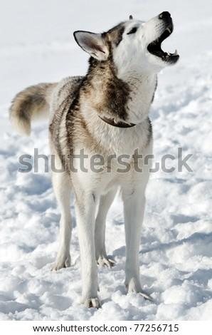 Howling husky - stock photo