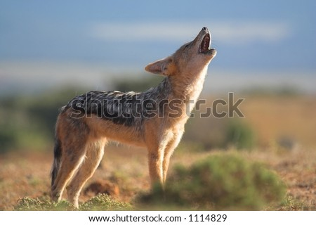 Howling Jackal caught at eye level - stock photo