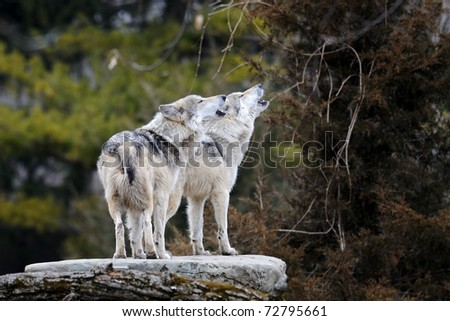 Howling Mexican gray wolves (Canis lupus)