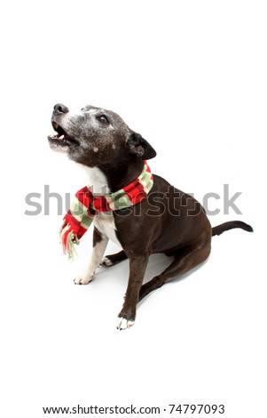 Howling Staffordshire Terrier cross breed wearing colorful warm toned scarf - stock photo