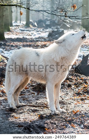 howling white arctic wolf in winter forest - stock photo