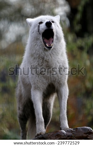Howling Wolf - stock photo