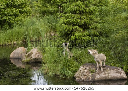 Howling Wolf Puppies - stock photo