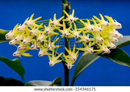 Hoya Multiflora (Wax plant flower) - stock photo