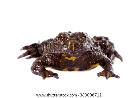 Hubei firebelly Toad, Bombina microdeladigitora, on the white background - stock photo