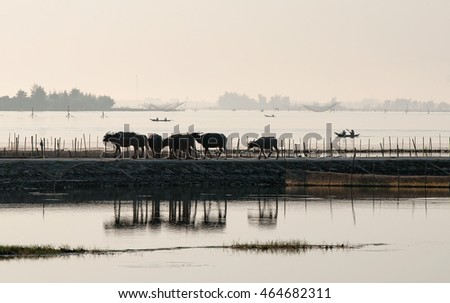 HUE. VIETNAM, April 19, 2016 buffaloes, go through the Tam Giang, Hue, Vietnam, in the afternoon