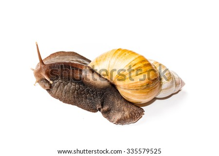 huge adult specimen of exotic snail Achatina isolated on white background