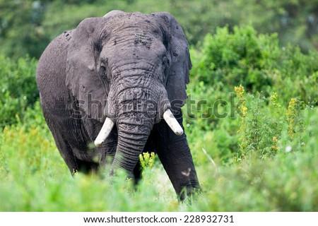 Huge African elephant bull in the Ngorongoro Crater, Tanzania - stock photo