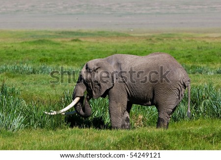 Huge African elephant bull in the Ngorongoro Crater, Tanzania