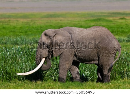 Huge African elephant bull in the Ngorongoro Crater, Tanzania - stock photo