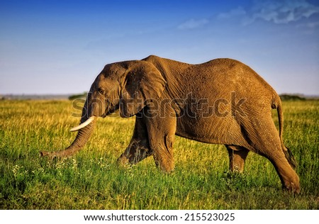 Huge African elephant bull in the Serengeti National Park, Tanzania - stock photo