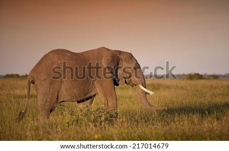 Huge African elephant bull in the Serengeti National Park, Tanzania - stock photo