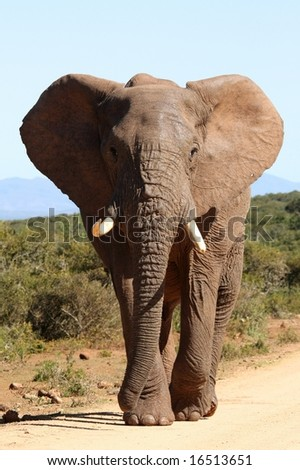 Huge African Elephant bull with it's ears spread