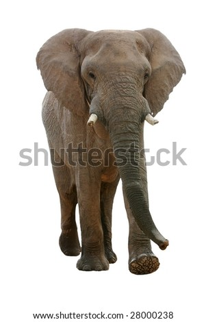 Huge African elephant isolated on white background - stock photo