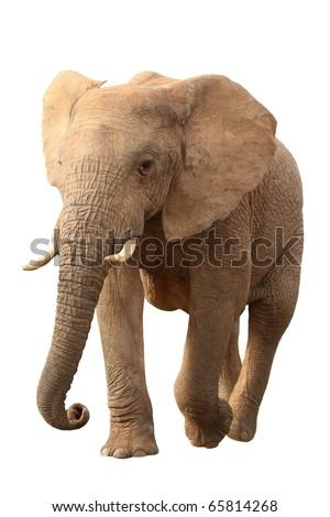 Huge African elephant isolated on white background - stock photo