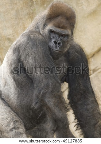 huge african western lowlands gorilla silverback adult male half length close up