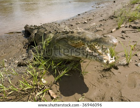 huge aggressive costa rican american crocodile with mouth open attacking showing teeth, tarcoles river, jaco, costa rica, latin america - stock photo