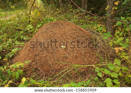Huge anthill in the forest  - stock photo