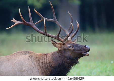 Huge antlers on bugling elk during rut season - stock photo