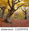 Huge beech in the colorful autumn forest - stock photo