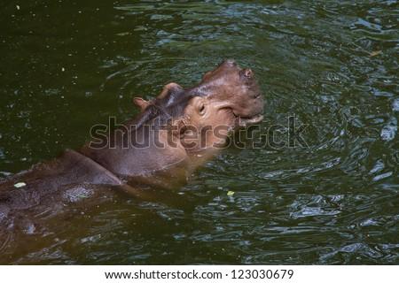 Huge behemoth lies in the water - stock photo