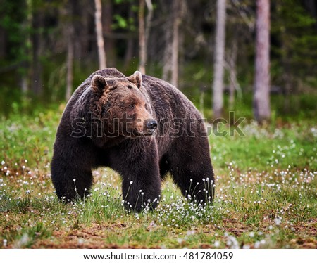 Huge big male brown bear walking in the finnish taiga