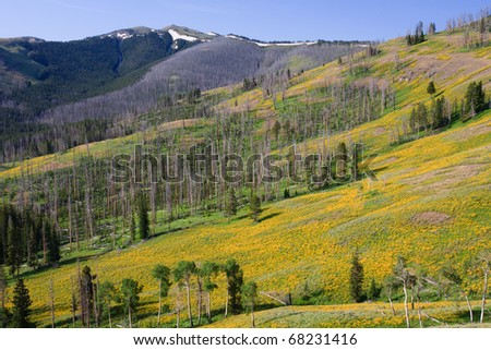 Huge bloom of yellow wildflowers along Dunraven Pass in Yellowstone. - stock photo