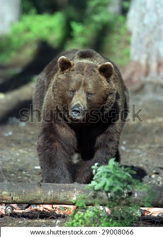 Huge brown bear in forest in summer sunny day