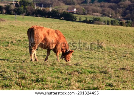 huge brown cows grazing in the Meadow - stock photo