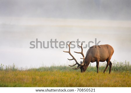 Huge bull elk grazing near river with steam rising from water on cool summer morning, Yellowstone. - stock photo