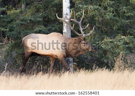 Huge Bull Elk in Jasper National Park - stock photo