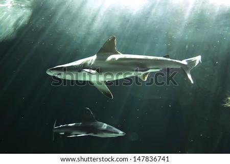huge bull shark swimming - stock photo