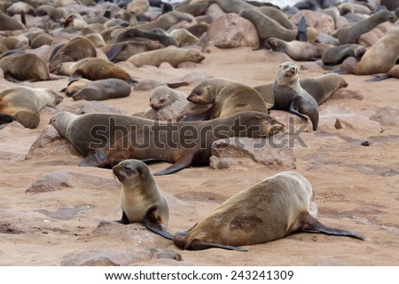 huge colony of Brown fur seal, Arctocephalus pusillus, in Cape Cross, Namibia, wide angle view, true wildlife photography