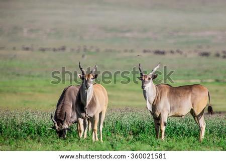 Huge Eland antelopes in the Ngorongoro Crater, Tanzania, East-Africa - stock photo